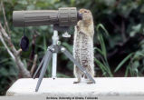 Ground Squirrel with binoculars