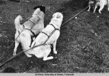 Dog harness.