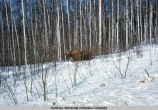 Munching moose along Nenana [highway].