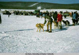 Getting ready for the race [North American Championship Sled Dog Race].