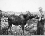 William Munson feeding a four month old moose calf