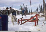 Collecting sled dogs into two teams for a race at Northway, AK.