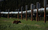 Grizzly grazing pipeline pad.