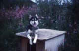Husky lying on doghouse.