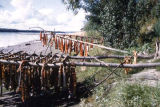 Salmon drying on beach.