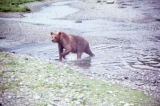 Admiralty Island brown bear.