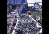 Herring Eggs drying on cheesecloth.