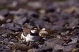 Atigun Pass. Semipalmated plover.