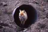 DNP[Denali National Park]. Red fox in drain pipe.