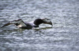Tern Lake, AK. Common Loon.