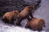 Three bears in McNeil River.