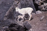 Two dall sheep.