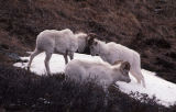 Dall sheep, butting heads.