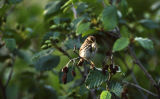 Savannah Sparrow.