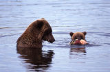 Sow and cubs in water fishing.