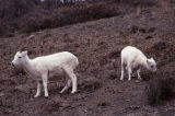 Dall sheep, Denali National Park.