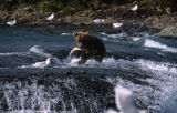 Bear cub with fish.