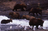 Grizzly bears, McNeil River.