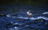 Russian River, AK. Common Merganser.