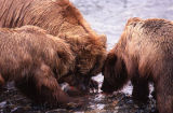 Bears feeding on fish.
