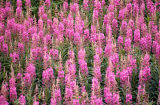 Fireweed in Alaska.