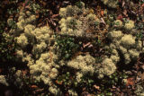 Lichen, Mt. Wright.