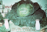 Prize head cabbage, Alaska State Fair.