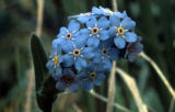 Wild forget-me-not (state flower)