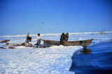 Eskimos launching skin boat to go hunting.