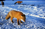 Red fox Pt. Barrow, Alaska.