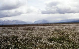 Alaskan field of cotton.