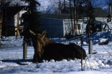 Cow moose in Anchorage.