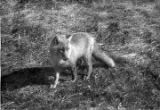 """Reddy' Fox. There are many of these on most of the Aleutian Islands"""