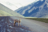 Female wolf on haul road in Atigun Valley.