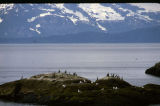 Glacier Bay National Park. South Marble Island. June. Cormorants; gulls.