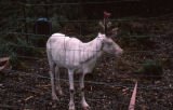 White (albino) reindeer in corral.