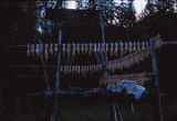 Whitefish Drying. Kiana.