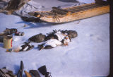 Eskimo hunters kill eider ducks.