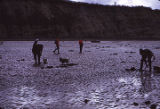 Clam digging - even a Pekinese! Low tide.