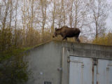 Moose at the Nike missile site at Kincaid Park.