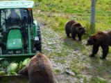 Feeding of the bears at the Alaska Wildlife Conservation Center.