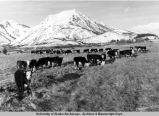Cattle on Kodiak Island, Alaska.