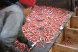 "Sorting shrimp from ""trash""- fish, crabs, etc."