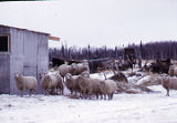 Sheep at farm overlooking Knik Area.