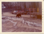 Bear at pipeline facility.