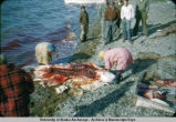 Natives butcher 'beluga' on the beach. Kotzebue 7-5-52.