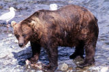 Alaskan brown bear.