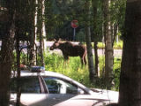 Moose with police escort.