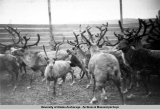Reindeer roundup: closeup view of reindeer in a corral [1938-1941].