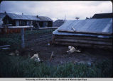 Dogs in Unalakleet.